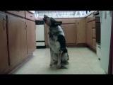 Ну очень умная собака.. Just Jumpy the dog